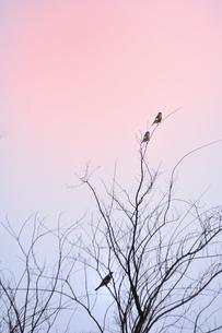 朝焼けの中、落葉樹の枝に止まるカワラヒワ(アトリ科)とツグミ(ツグミ科)の写真素材 [FYI04824772]