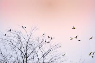 朝焼けの中で飛び交うカワラヒワ(アトリ科)と枝に止まるカワラヒワの写真素材 [FYI04824773]
