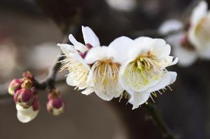 白梅の花とつぼみ(バラ科サクラ属の落葉高木)の写真素材 [FYI04824775]