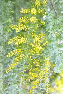 ミモザアカシア(マメ目マメ科)の黄色い花と葉の写真素材 [FYI04824776]