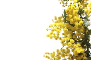 白バックのミモザの花の写真素材 [FYI04825128]