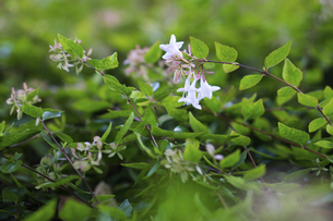 ハナゾノツクバネウツギ(アベリア)の花の写真素材 [FYI04825307]