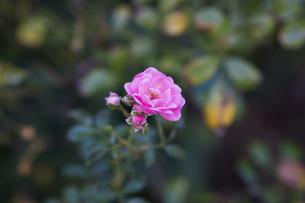 薔薇の花の写真素材 [FYI04825308]