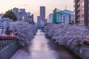 東京・目黒川の桜ライトアップの写真素材 [FYI04825642]
