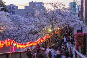 東京・目黒川の桜ライトアップの写真素材 [FYI04825643]