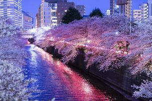 東京・目黒川の桜ライトアップの写真素材 [FYI04825645]