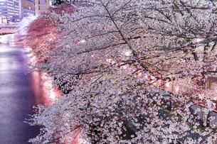 東京・目黒川の桜ライトアップの写真素材 [FYI04825650]
