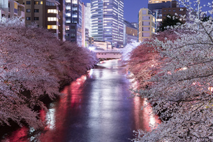 東京・目黒川の桜ライトアップの写真素材 [FYI04825651]