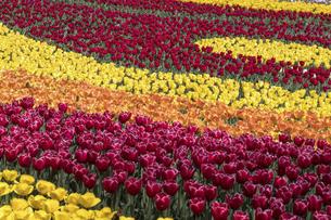チューリップの花畑の写真素材 [FYI04825695]