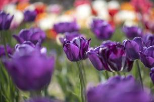 チューリップの花畑の写真素材 [FYI04825696]