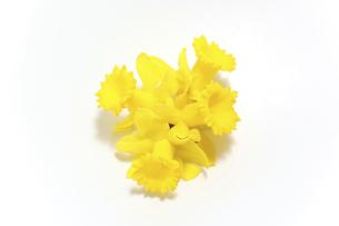 黄色の水仙の写真素材 [FYI04825701]