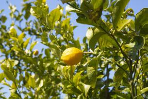 レモンの木の写真素材 [FYI04826086]
