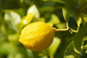 レモンの木の写真素材 [FYI04826087]