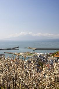 有明海塩屋漁港の海苔網と梅の花の写真素材 [FYI04826091]