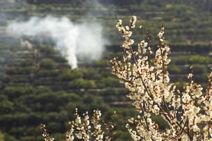 河内みかん山と梅の花の写真素材 [FYI04826092]