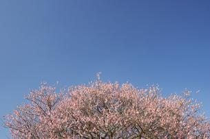 水前寺江津湖公園の梅の木の写真素材 [FYI04826093]