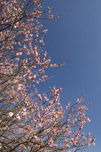 水前寺江津湖公園の梅の木の写真素材 [FYI04826094]