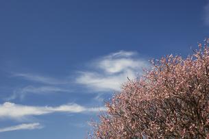 水前寺江津湖公園の梅の木の写真素材 [FYI04826095]