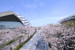 スタジアム通りの満開の桜並木の写真素材 [FYI04826438]