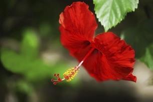 ハイビスカス・赤い花の写真素材 [FYI04826626]