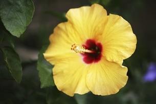 ハイビスカス・大輪の花の写真素材 [FYI04826627]
