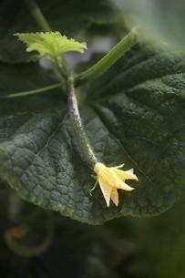 野菜・キュウリの花の写真素材 [FYI04826628]