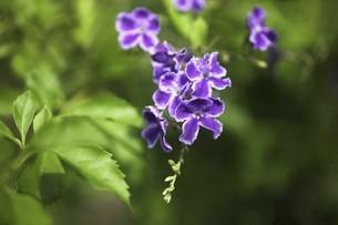 デュランタの花の写真素材 [FYI04826631]