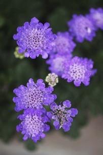 スカビオサの花の写真素材 [FYI04826635]