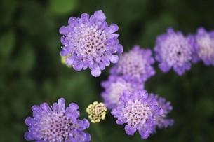 スカビオサの花の写真素材 [FYI04826636]