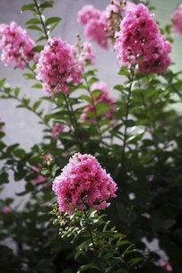 紅いサルスベリの花の写真素材 [FYI04826637]