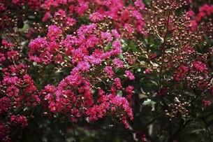 赤いサルスベリの花の写真素材 [FYI04826638]