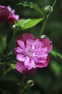 ムクゲ・八重咲きの花の写真素材 [FYI04826639]
