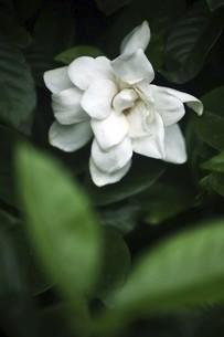 クチナシの花香るの写真素材 [FYI04826647]