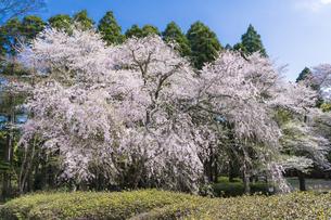 泉自然公園の枝垂桜の写真素材 [FYI04827211]