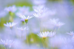 ブルーデージーの花の写真素材 [FYI04827307]
