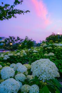 夕焼けと紫陽花アナベルの写真素材 [FYI04827310]