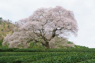 牛代の水目桜の写真素材 [FYI04827355]