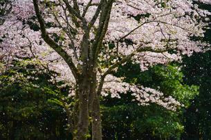 桜 散り際の写真素材 [FYI04827357]