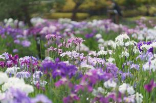 満開の花菖蒲の写真素材 [FYI04827359]