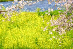 菜の花と桜の風景の写真素材 [FYI04827361]