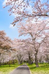 大石寺常灯ヶ峰の桜と小径の写真素材 [FYI04827363]