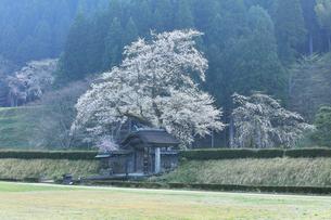 春の一乗谷朝倉氏遺跡 唐門と桜の写真素材 [FYI04827502]