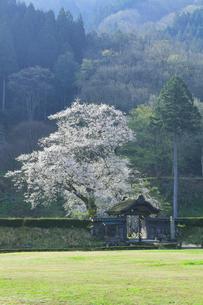 春の一乗谷朝倉氏遺跡 唐門と桜の写真素材 [FYI04827507]