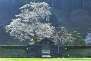 春の一乗谷朝倉氏遺跡 唐門と桜の写真素材 [FYI04827510]