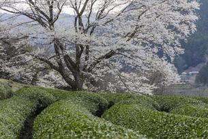 竹原の淡墨桜の写真素材 [FYI04827522]