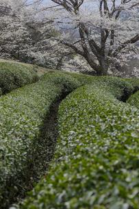竹原の淡墨桜の写真素材 [FYI04827524]