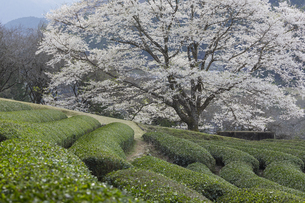 竹原の淡墨桜の写真素材 [FYI04827525]