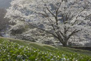竹原の淡墨桜の写真素材 [FYI04827529]