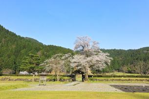 春の一乗谷朝倉氏遺跡 唐門と桜の写真素材 [FYI04827759]