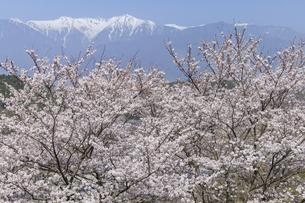 駒ヶ根市の桜と中央アルプス宝剣岳の写真素材 [FYI04828133]
